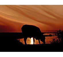 Bovine Delight Photographic Print