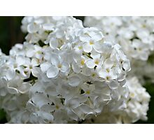 White Lilac Blossoms Photographic Print