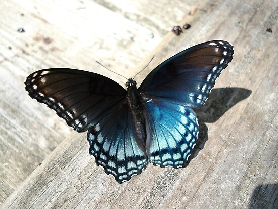 Red-Spotted Purple Butterfly by May Lattanzio