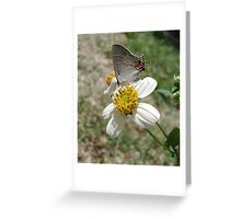 Hairstreak on Spanish Needles Greeting Card