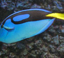 Palette surgeonfish by loiteke
