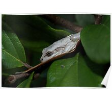 Cuban Tree Frog Poster