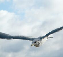 Swooping Seagull by Corri Gryting Gutzman