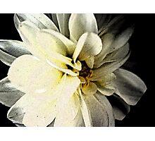 dahlia on black Photographic Print