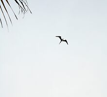 Frigate Bird by BLAMB