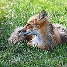 Red Fox by Teresa Zieba