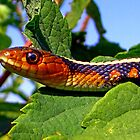 Oregon Red-spotted Garter Snake by Chuck Gardner