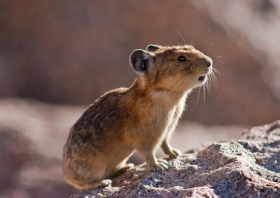 The Pika Project, II by Jay Ryser