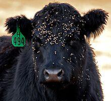 Burr-Faced Calf by A.M. Ruttle