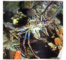 Caribbean Reef Lobster   Poster