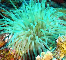 Giant Green Sea Anemone by Amy McDaniel