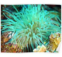 Giant Green Sea Anemone Poster