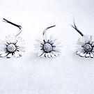 three daisies by CoffeeBreak