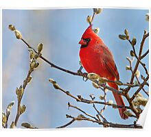 male cardinal 7 2012 Poster