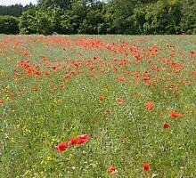 Poppy field by Mariann Rea