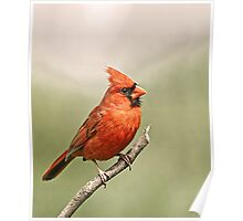 male cardinal 1  09 Poster