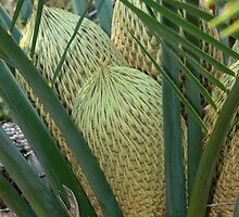 Zamia Palm Cones (Macrozamia riedlei) by Sandra Chung
