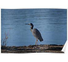 Grey Egret Poster