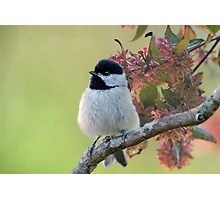 Fluffy Little Carolina Chickadee  Photographic Print