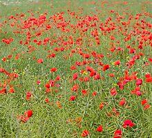 Pretty poppies by Mariann Rea