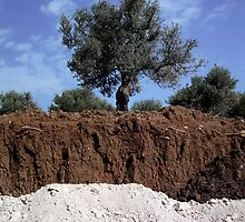 Olive Tree in the West Bank by Jason Moore