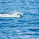 Finback (Fin) Whale by Sean McConnery