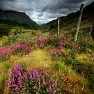 Wales : purple heather by Angie Latham