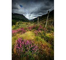 Wales : purple heather Photographic Print