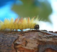 Sycamore Moth Caterpillar by Geoff Fisher