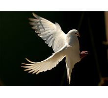 Dove Landing Photographic Print