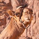 Not moo.  On the way up Mt. Sinai, Egypt. by Andre Roberts