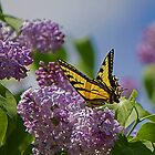 Male Tiger Swallowtail Butterfly by Jamie Cameron