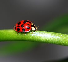 Ladybird by Geoff Fisher