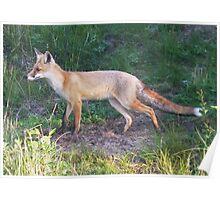 Red Fox (Vulpes vulpes)  Poster