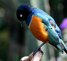 African Superb Starling Looking Down by Wolf Read