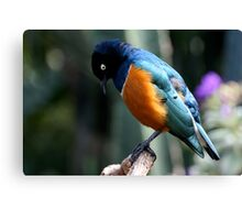 African Superb Starling Looking Down Canvas Print
