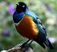 African Superb Starling by Wolf Read