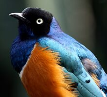 African Superb Starling Portrait by Wolf Read