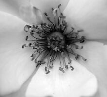 Heart of the White Rose by Wayne Gerard Trotman