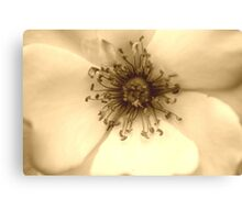 Heart of the White Rose in Sepia Canvas Print