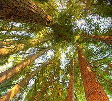 Redwoods by food4thoth
