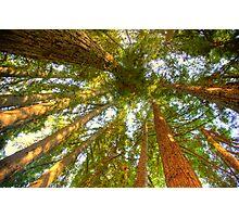 Redwoods Photographic Print