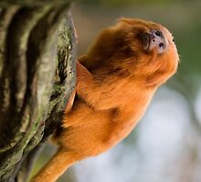 Unbelievable Golden Lion Tamarin