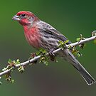 House Finch by Martin Smart