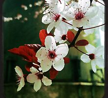 Blossoms in Red and White by dillondesignlab