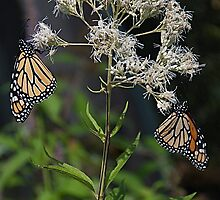a pair of monarchs by marianne troia