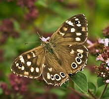 Speckled Wood (Pararge aegeria) by Steve  Liptrot