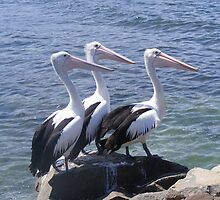 Pelican Trio by Rochelle Buckley