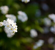 White forget-me-not by Mariann Rea