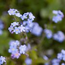 Blue forget-me-not by Mariann Rea